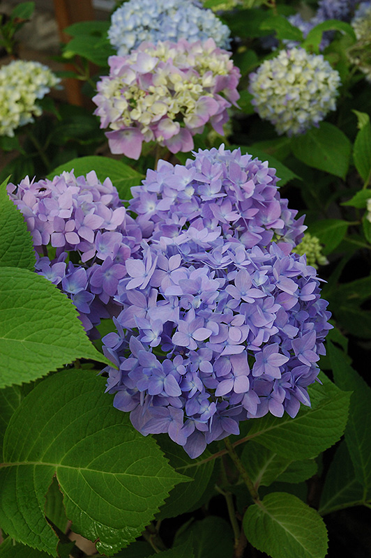 Endless Summer Hydrangea Macrophylla At Meadows Farms Nurseries