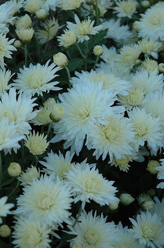 Bristol White Chrysanthemum At Meadows Farms Nurseries
