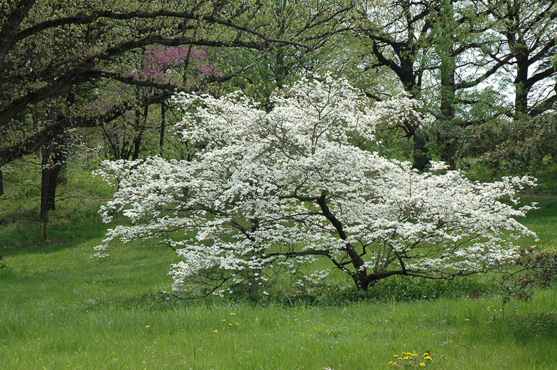 White cloud flowering dogwood cornus florida white cloud in white cloud flowering dogwood cornus florida white cloud at meadows farms nurseries mightylinksfo