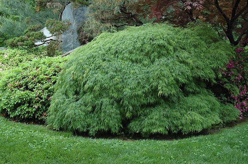 Cutleaf Japanese Maple Acer Palmatum Dissectum Viridis
