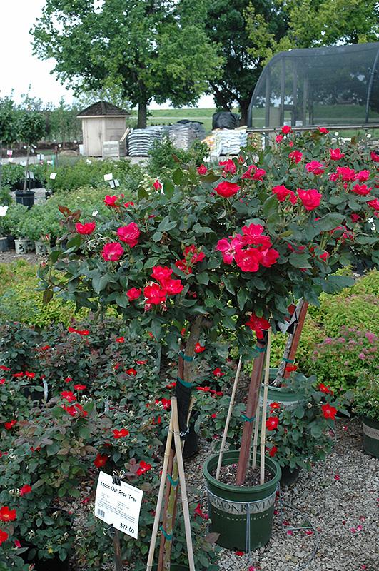 Knock Out Rose Tree Rosa Radrazz At Meadows Farms Nurseries