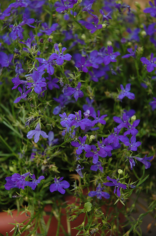 Deep Blue Star Lobelia Lobelia Deep Blue Star In Richmond