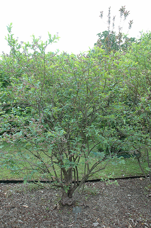 Premier Rabbiteye Blueberry Vaccinium Ashei Premier In