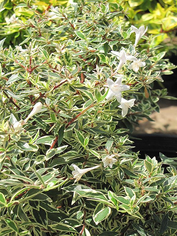 Confetti Glossy Abelia Grandiflora Richmond Fairfax Loudoun Prince