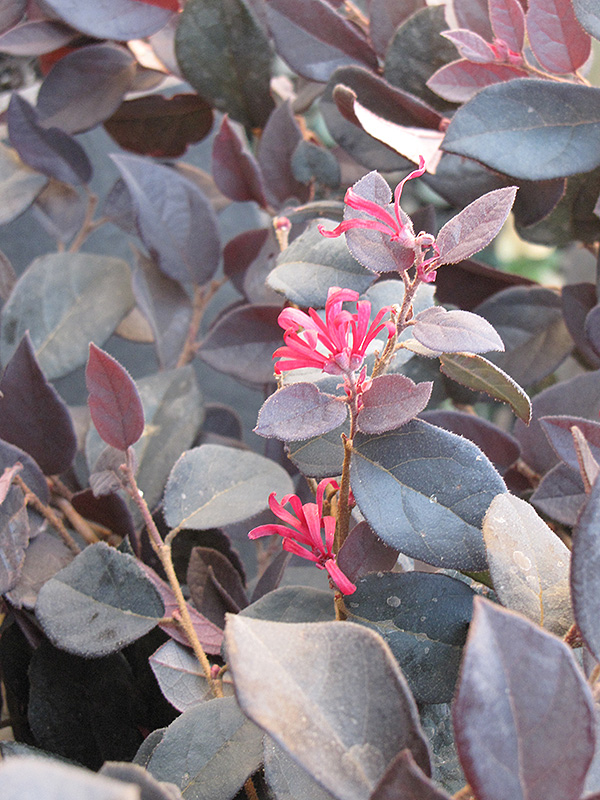Purple Pixie 174 Fringeflower Loropetalum Chinense Peack