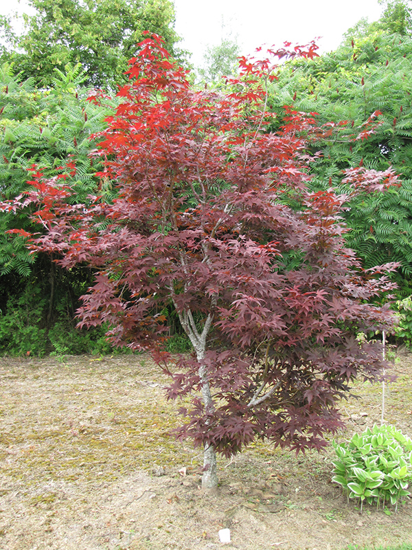 Red Emperor Japanese Maple Acer Palmatum Red Emperor In Richmond