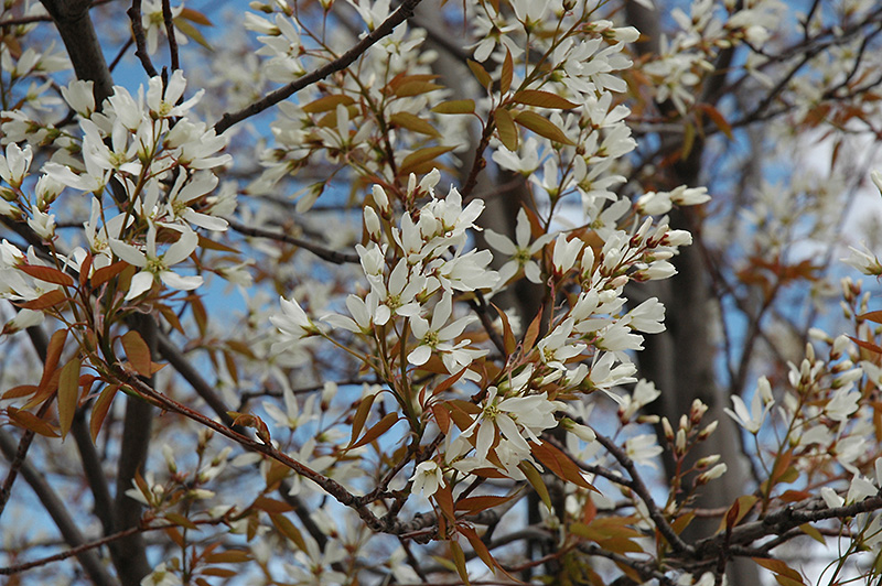 Autumn brilliance serviceberry amelanchier x grandiflora autumn autumn brilliance serviceberry amelanchier x grandiflora autumn brilliance tree form thecheapjerseys Image collections