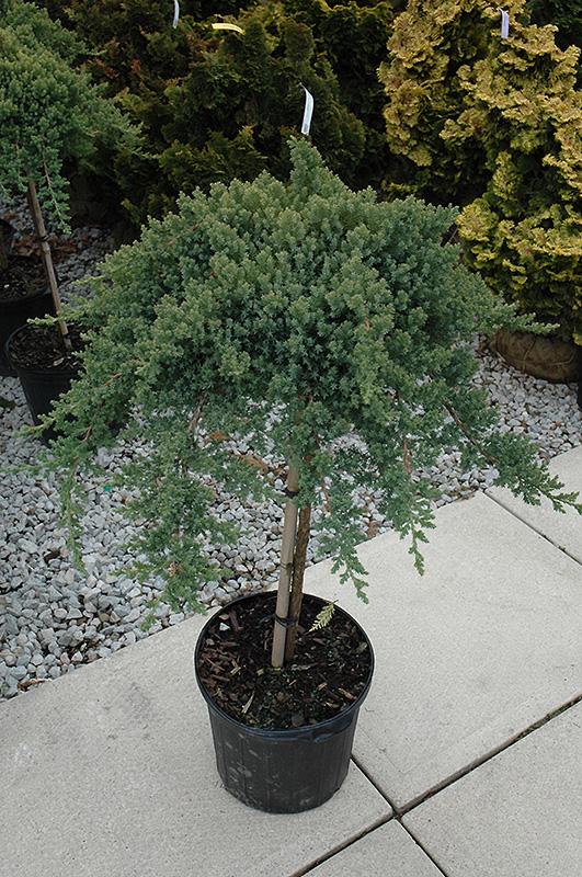Dwarf Japanese Garden Juniper (tree Form) (Juniperus Procumbens U0027Nana (tree  Form