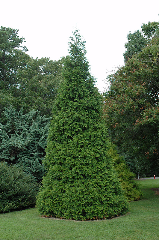 Green Giant Arborvitae Thuja Green Giant In Richmond