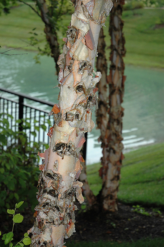 River Birch Betula Nigra At Meadows Farms Nurseries