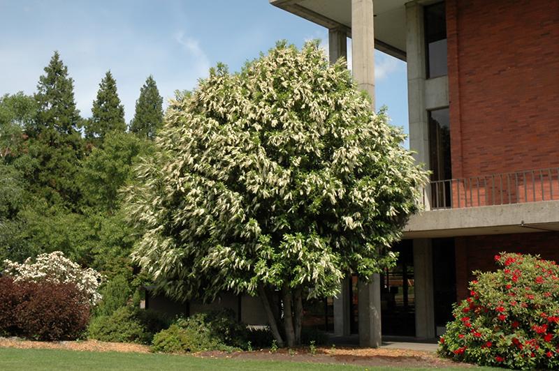 Portugal Laurel Prunus Lusitanica In Richmond Fairfax