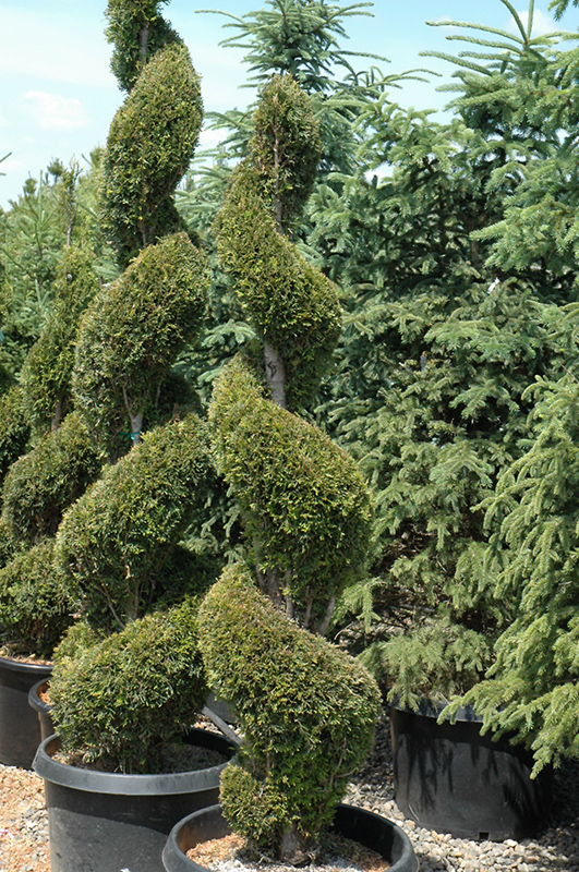 emerald green arborvitae spiral thuja occidentalis 39 smaragd spiral 39 in richmond fairfax. Black Bedroom Furniture Sets. Home Design Ideas