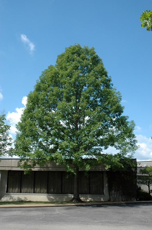 Nuttall's Oak (Quercus texana) in Richmond Fairfax Loudoun ...