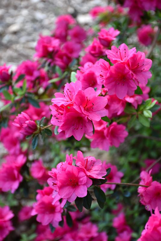 Hersheys pink azalea rhododendron hersheys pink in richmond hersheys pink azalea rhododendron hersheys pink at meadows farms nurseries hersheys pink azalea flowers mightylinksfo