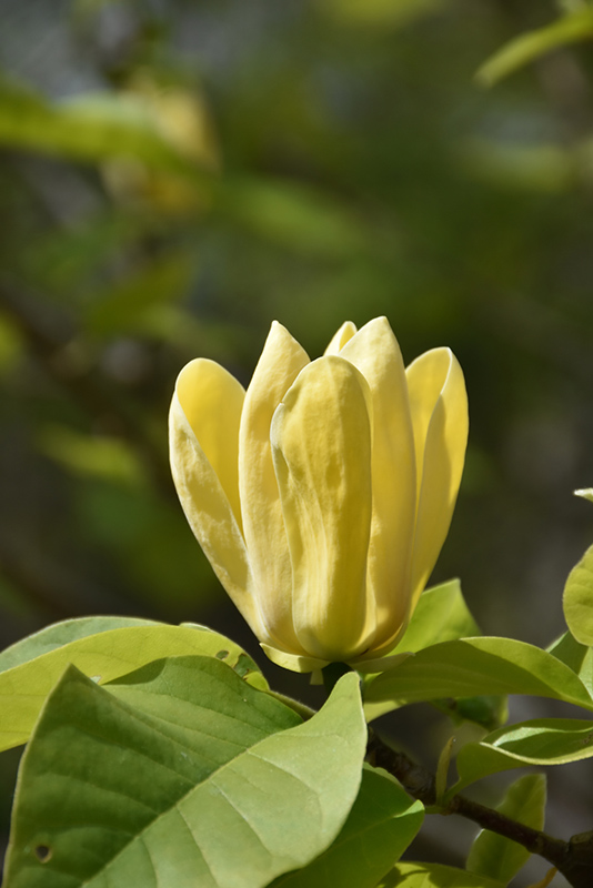 Yellow bird magnolia magnolia yellow bird in richmond fairfax yellow bird magnolia magnolia yellow bird at meadows farms nurseries mightylinksfo