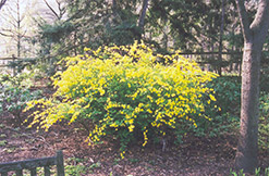 Japanese Kerria (Kerria japonica) at Meadows Farms Nurseries