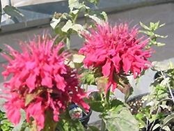 Pink Supreme Beebalm (Monarda didyma 'Pink Supreme') at Meadows Farms Nurseries