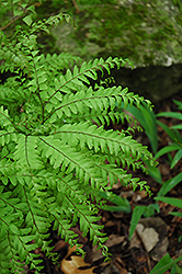 Northern Maidenhair Fern (Adiantum pedatum) at Meadows Farms Nurseries