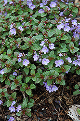 Waterperry Blue Speedwell (Veronica 'Waterperry Blue') at Meadows Farms Nurseries