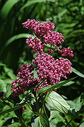 Swamp Milkweed (Asclepias incarnata) at Meadows Farms Nurseries