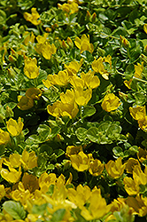 Creeping Jenny (Lysimachia nummularia) at Meadows Farms Nurseries