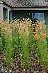 Karl Foerster Reed Grass (Calamagrostis x acutiflora 'Karl Foerster') at Meadows Farms Nurseries