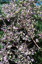 Rochebrun Meadow Rue (Thalictrum rochebrunianum) at Meadows Farms Nurseries
