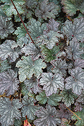 Frosted Violet Coral Bells (Heuchera 'Frosted Violet') at Meadows Farms Nurseries