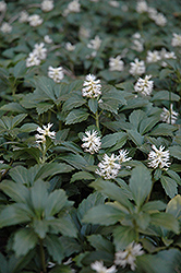 Japanese Spurge (Pachysandra terminalis) at Meadows Farms Nurseries