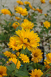 Bressingham Doubloon Sunflower (Heliopsis helianthoides 'Bressingham Doubloon') at Meadows Farms Nurseries