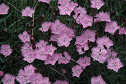 Bath's Pink Pinks (Dianthus 'Bath's Pink') at Meadows Farms Nurseries