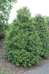 Foster's Holly (Ilex x attenuata 'Fosteri') at Meadows Farms Nurseries