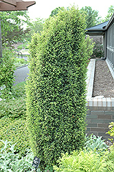 Gold Cone Juniper (Juniperus communis 'Gold Cone') at Meadows Farms Nurseries