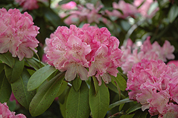 Holden Rhododendron (Rhododendron 'Holden') at Meadows Farms Nurseries