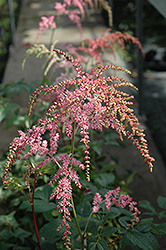 Ostrich Plume Astilbe (Astilbe x arendsii 'Ostrich Plume') at Meadows Farms Nurseries