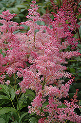 Jump and Jive Astilbe (Astilbe 'Jump And Jive') at Meadows Farms Nurseries