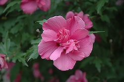 Lucy Rose Of Sharon (Hibiscus syriacus 'Lucy') at Meadows Farms Nurseries