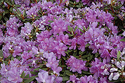 Purple Gem Rhododendron (Rhododendron 'Purple Gem') at Meadows Farms Nurseries