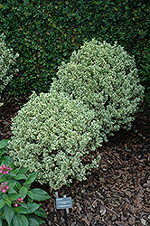 Variegated Boxwood (Buxus sempervirens 'Variegata') at Meadows Farms Nurseries