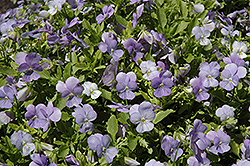 Endurio Sky Blue Martien Pansy (Viola cornuta 'Endurio Sky Blue Martien') at Meadows Farms Nurseries
