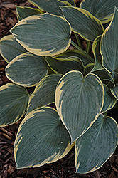 First Frost Hosta (Hosta 'First Frost') at Meadows Farms Nurseries