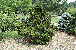 Nana Compacta Hinoki Falsecypress (Chamaecyparis obtusa 'Nana Compacta') at Meadows Farms Nurseries