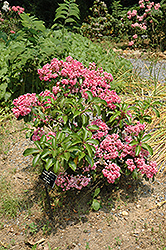 Carol Mountain Laurel (Kalmia latifolia 'Carol') at Meadows Farms Nurseries