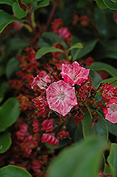 Raspberry Glow Mountain Laurel (Kalmia latifolia 'Raspberry Glow') at Meadows Farms Nurseries