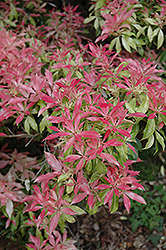 Valley Fire Japanese Pieris (Pieris japonica 'Valley Fire') at Meadows Farms Nurseries