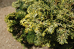 Verdoni Gold Hinoki Falsecypress (Chamaecyparis obtusa 'Verdoni Gold') at Meadows Farms Nurseries