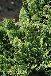 Well's Special Hinoki Falsecypress (Chamaecyparis obtusa 'Well's Special') at Meadows Farms Nurseries