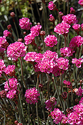 Red-leaved Sea Thrift (Armeria maritima 'Rubrifolia') at Meadows Farms Nurseries