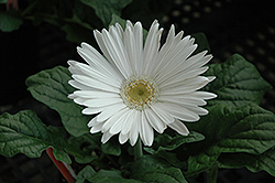 White Gerbera Daisy (Gerbera 'White') at Meadows Farms Nurseries