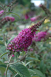 Miss Ruby Butterfly Bush (Buddleia davidii 'Miss Ruby') at Meadows Farms Nurseries